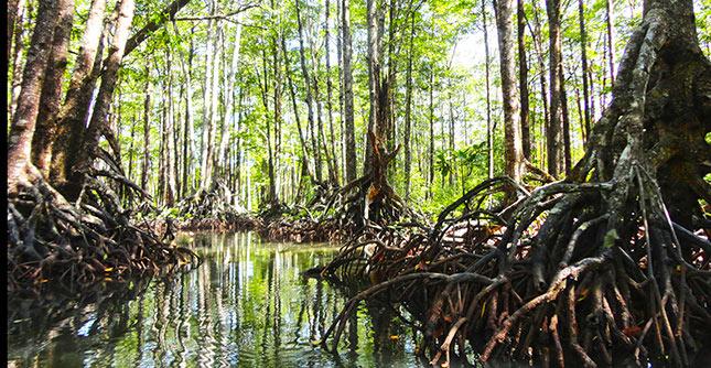 La mangrove de Sabang à Palawan (Philippines)