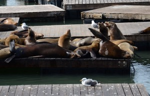 Les otaries du ponton Pier 39