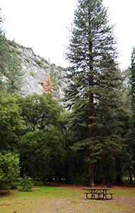 Séquoias Géants de Yosemite Valley