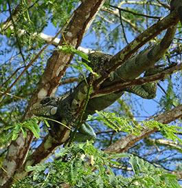 Un iguane sauvage
