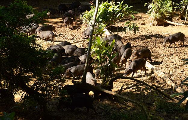Les Pécaris de la Selva