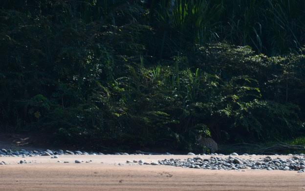 Un jaguar dans la Selva