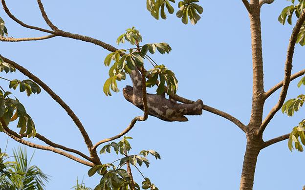 Un paresseux dans l'arbre