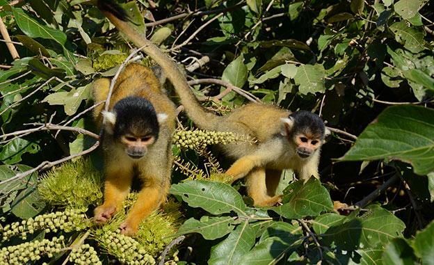 Les singes de la Pampa