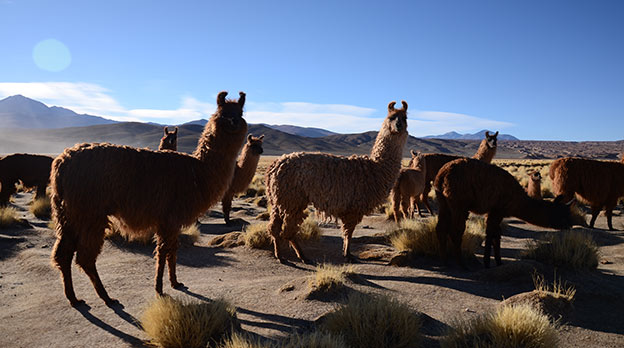 Les lamas du Sud Lipez