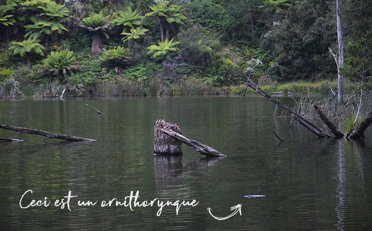 Un ornithorynque dans le lac Elizabeth