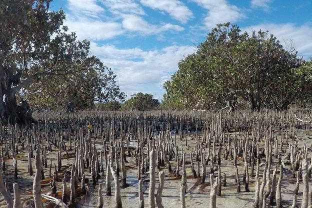 Les mangroves de Chinaman Creek